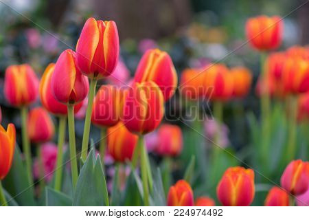 Red Tulips With Beautiful Bouquet Background, Tulip, Tulips In Spring At The Garden, Selective Focus