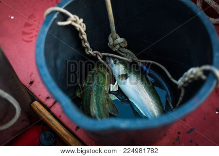 Freshly caught fish pollack in a bucket on the boat.