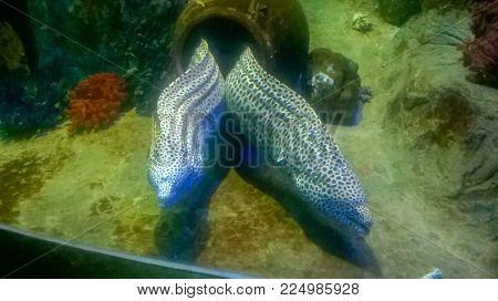 Threatening Moray eel in the Mediterranean sea, Vietnam