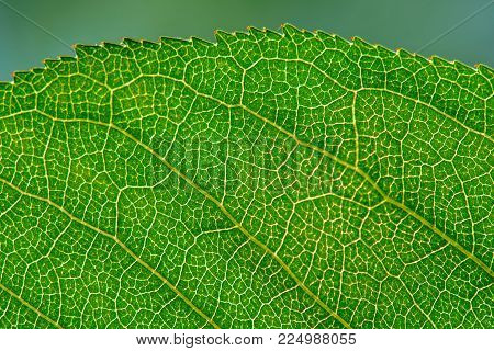 Close Up View Of Leaf Texture With Veins