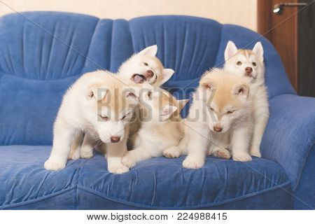 Husky puppies dabble on the couch for any purpose