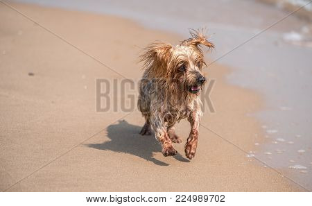 Dog running toward sea on the shore of the beach, Yorkshire Terrier doggie. Blurred background for copy space