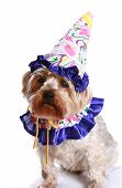 It's a birthday party for a little terrier dog. poster