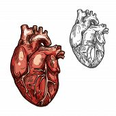 Heart sketch icons of human organ. Vector isolated heart ventricle and blood vessels vital organ of cardiovascular system for medical design or surgery and body medicine symbols poster