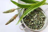 homemade remedy - herbal plantain tea (plantago lanceolata) on the white background - health care and medical treatment poster