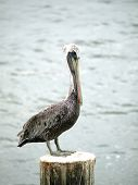 Photo of a pelican at rest sitting upon a piling poster