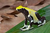 yellow and black poison dart frog sitting on a leaf in the tropical amazon rain forest. Beautiful and colorful amphibian of the jungle. poster