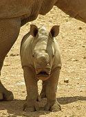 A baby male White Rhino standing under mum. poster