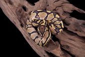 Baby Ball or Royal Python Fire morph on a piece of wood on a black background poster