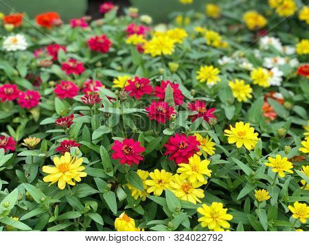 Yellow-red Zinnia Angustifolia, The Narrow-leaf Zinnia Blooming In The Garden, Hybrids Between Z. An