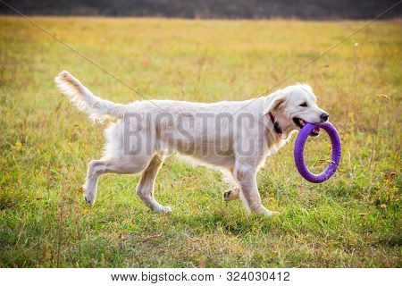 Golden Retriever Playing With Puller On Field At Autumn Landscape