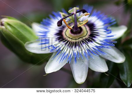 Passion Flower Or Passiflora Are More Than 500 Varieties Of Passion Flowers Are Known, Including Tre