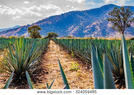 Beautiful Image Of A Path Between Two Straight Lines Of Blue Agave In A Tequila Plantation With A Hi