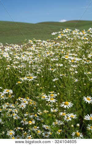 Field Of Daisies In The Palouse Region Of Washington State Usa During Summer