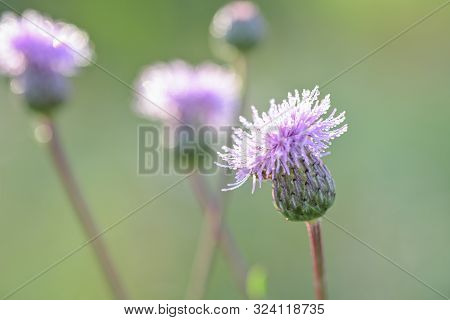 Carthamus Lanatus, Woolly Distaff Thistle, Downy Safflow Or Saffron Thistle, Pink, Macro