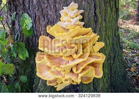Crab-of-the-woods, Sulphur Polypore, Sulphur Shelf Or Chicken-of-the-woods. Laetiporus Sulphureus Is