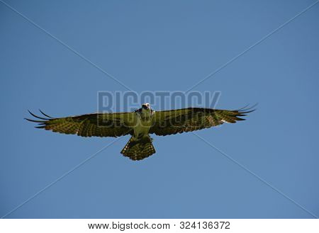 Arresting Capture Of An Elegant North American Osprey Soaring Through A Bright Blue Sky, While Carry