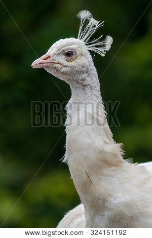 Head Shot Of A Leucistic Peacock (pavo Cristatus) With A Green Background