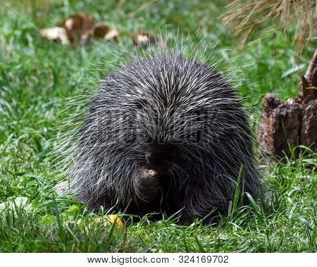 Porcupine Sitting In Grass Eating A Flower