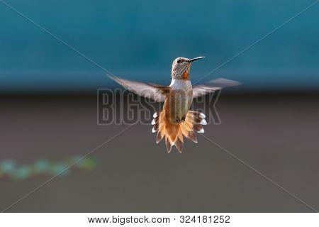 Flying Rufous Hummingbird At Vancouver Bc Canada