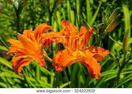 Orange Daylilies. Blossoming Orange Daylilies In The Garden On The Background Of Green Leaves. Orang