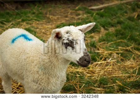 A perky lamb enjoys life on the farm in