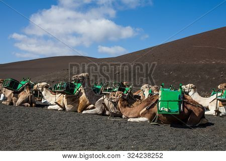 Camels With Muzzle Resting And Waiting For Tourists To Arrive For Camel Rides In Desert Of Timanfaya