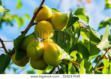 Apricots. Young Green Apricot. Branch Of An Apricot Tree With Apricots. Apricots On A Branch.