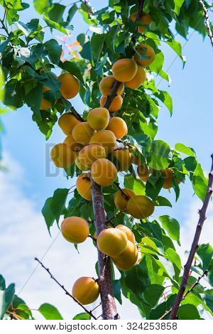 Apricots. Branch Of An Apricot Tree With Ripe Apricots. A Bunch Of Ripe Apricots Branch In Sunlight.