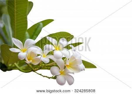 Dicut Of The Frangipani Flowers (plumeria) Isolate On White Background With Clipping Path. White Plu