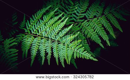Natural Green Fern Leaves Texture In The Forest Close Up On The Dark Background