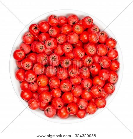 European Rowan Fruits In White Bowl. Fresh Ripe Red Seeds. Sorbus Aucuparia, Also Mountain-ash. Frui