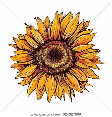 Sunflower Hand Drawn Vector Illustration. Beautiful Orange Flower Bud, Blooming Wildflower. Agricult