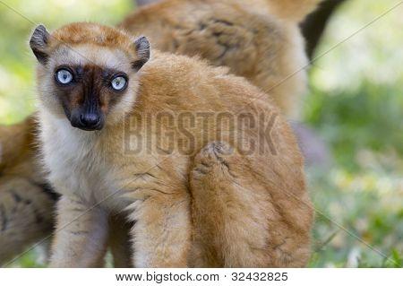 gekrönte Lemur (Eulemur Coronatus) 01