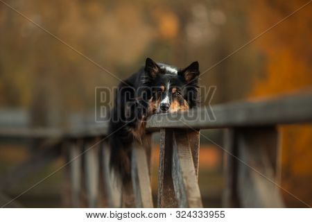 The Dog Lies On A Wooden Fence. Border Collie In The Fall
