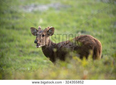 Hog Deer Feeding At Kaziranga National Park In Assam, India