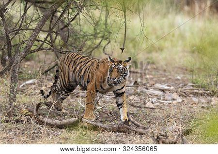 Young Male Tiger Walking At Ranthambhore National Park In Rajasthan, India