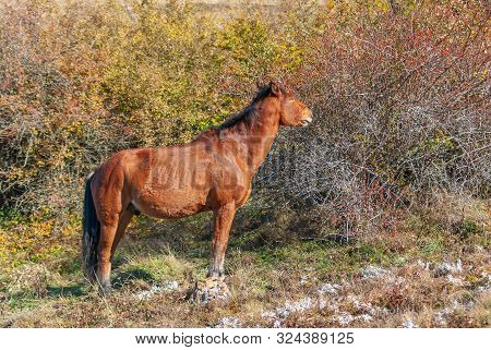 Horse Standing Near Dog Rose And Ready To Eat Those Tasty Red Berries - Favorite Dainty For Those An