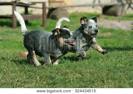 Australian Cattle Dog Puppies Running