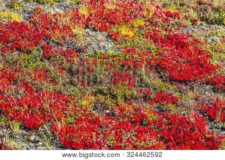 Autumn In The Tundra. Red Spruce Branches In Autumn Colors On The Moss Background. Tundra, Kola Peni