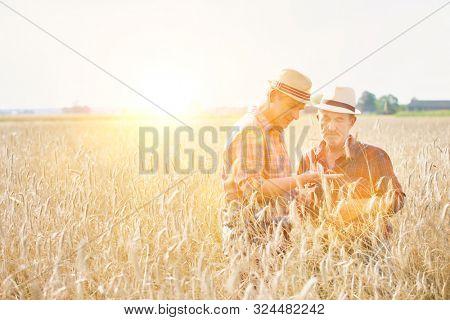 Mature farmer showing wheat grains to senior farmer in wheat field