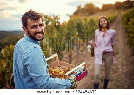 Grape Vineyard fields. Grape harvesting. smiling man harvesting grapes on autumn vineyard