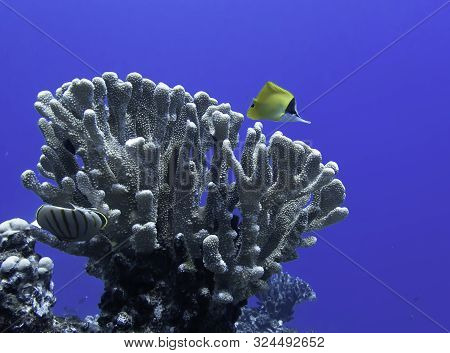 Single Needlenose Butterflyfish With Antler Coral On Bright Blue Background Underwater In Hawaii.