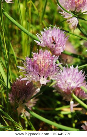 Ants On The Chives