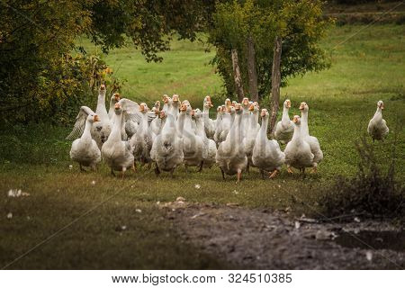 Flock Of Geese.village Geese Is Running To The Pond.