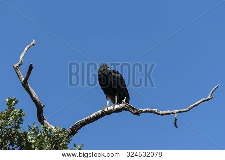 Single Black Vulture looking back over its shoulder for something dead to scavenger while perched on a bare branch high in the top of a tree. poster