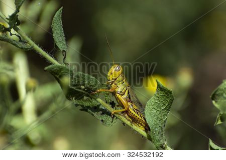 Closeup of side profile of a green and yellow Differential Grasshopper clinging to a leaf on a plant stem in a garden with its antennae sticking straight out above its large eyes. poster