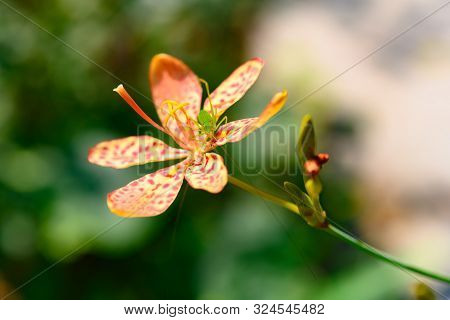 A Little Green Insect On A Rhizoma Belamcandae Flower