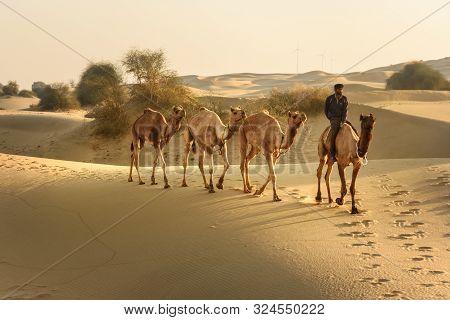 Jaisalmer, India - February 15, 2019: Indian Cameleer With Camels In Thar Desert