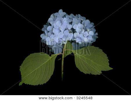 Blue Hydrangea On Black